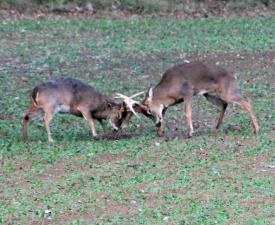 Fighting Bucks