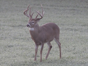 Black Belt Whitetails